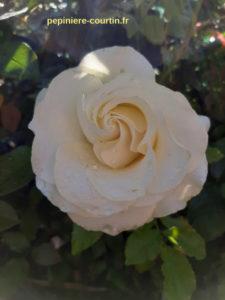 roses utilisées pour fabriquer bouquets de maraige