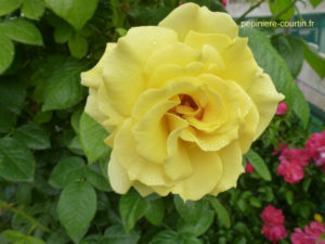 rosier grimpant jaune or