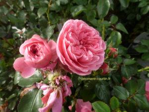 rosier grimpant non parfumé Leonardo da vinci