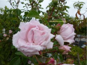 rosier rose pâle