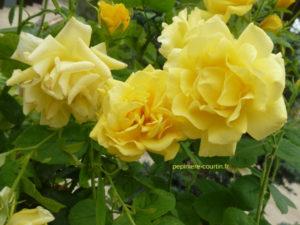 rosier Carte d'Or à fleurs groupées jaune canari