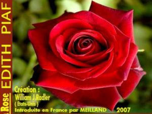 rosier en hommage à la chanteuse renommée