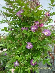 roses bleu violet