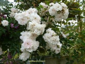 rosier petites fleurs doubles