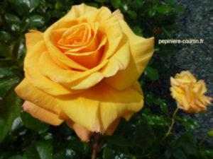 rosa Amber Flush jaune