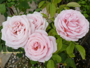 rosier à grandes fleurs