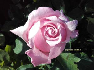 rosier à grosses fleurs parfumées