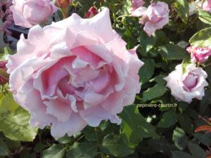 rosier à grandes fleurs très parfumé