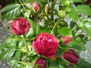 grimpant à fleurs rouges foncé