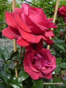 rosier grimpant Le Grand Huit