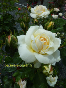 grimpant à fleurs blanches