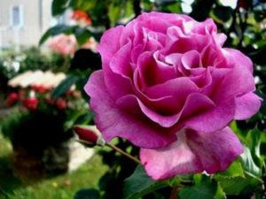 rose au parfum de violette