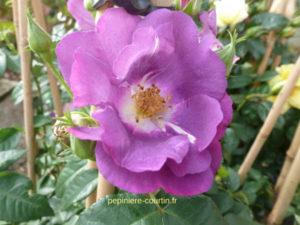 rosier rhapsody in blue parfumé